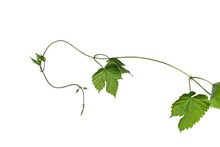 Wild Blackberry Vine With Leaves Isolated On White Background With Clipping Path