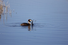 Great Crested Grebe Fishing Amongst The Reeds