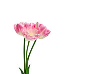 Bouquet Of Three Pink Tulips On A White Background.  Spring Flowers. Elements For Design