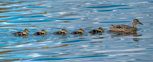 Mallard And Ducklings In A Row