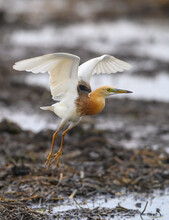 Closeup Javan Pond Heron Flying