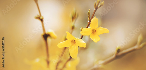 Canvas Print Beautiful bright yellow blooming flowers of forsythia grow on the thin branches of the shrub, illuminated by the warm sunlight in spring