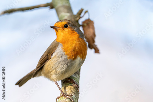 Fotografie, Obraz Robin redbreast ( Erithacus rubecula) bird a British garden songbird with a red