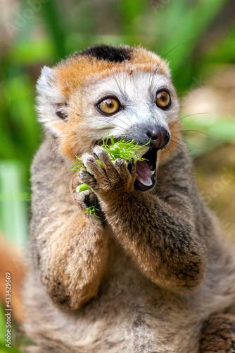 Naklejka premium Crowned Lemur (Eulemur coronatus) a primate found in the Madagascar jungle rainforest, stock photo image