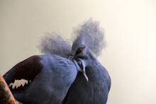 Closeup Shot Of A Western Crowned Pigeon On A Blurred Background