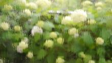 雨の日のアジサイ 満開のアナベル