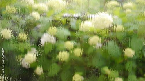 Obraz na plátně 雨の日のアジサイ 満開のアナベル