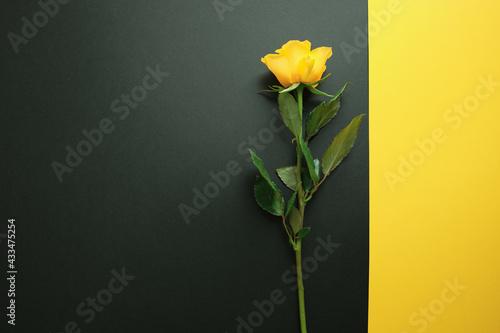 Fototapeta Yellow rose on trendy black and yellow colour block geometric background
