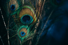 Closeup Of Beautiful And Colorful Peacock Feathers.