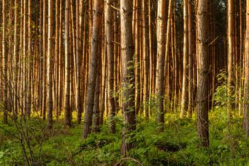 wysokopienny las iglasty w klimacie umiarkowanym