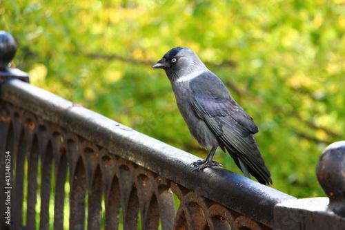 Naklejka premium blackbird on a fence