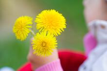 Dandelions  Child's Hand Small Hand Child Summer Flowers Yellow Green Background Grass