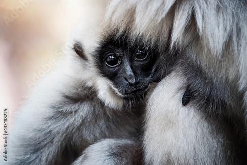 Naklejka premium gibbon in zoo