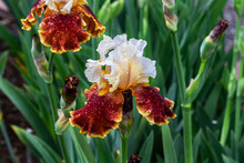 """""""Hoot"""" Tall Bearded Iris In Bloom. Raindrops On White And Red-gold Petals. Green Plants In Background."""