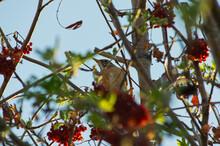 An American Robin In A Tree