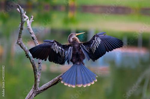 Naklejka premium A biguatinga (Anhinga anhinga) é uma ave aquática que chama a atenção pelo porte na cor preta e na arvore no lago.