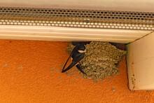 Nest Building House Martin