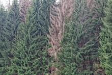 Living And Dead Spruce Trees In The Thuringian Forest