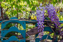 Flowering Creeper, Chinese Wisteria Or Blue Rain (Wisteria Sinensis) On A Metal Fence.