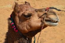 Closeup Of A Dromedary At Pushkar Camel Fair
