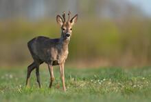 Roe Deer Male ( Capreolus Capreolus )