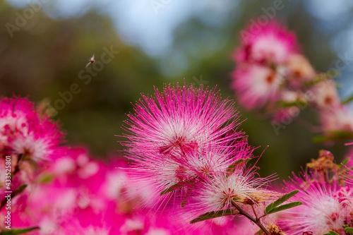 Obraz na plátně Detalhe da flor Caliandra - Calliandra Brevipes ou esponjinha em jardim de Guara