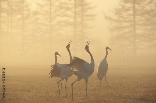 Naklejka premium 霧の中で鳴くタンチョウ(北海道・鶴居村)