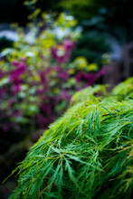 Closeup Of Bright Green Bushes In A Garden With Vibrant Purple Flowers In The Background