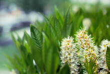 Cherry Laurel In Bloom, Closeup. Beautiful Fragrant Evergreen Shrub Also Known As Prunus Laurocerasus Or English Laurel. Selective Focus On Tiny White Flowers In Bloom With Defocused Green Foliage.