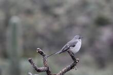 Small Gray Bird On A Limb