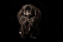 Black Pekingese On Black Background