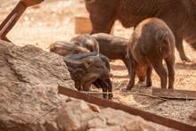 Boar Eating Food On The Floor