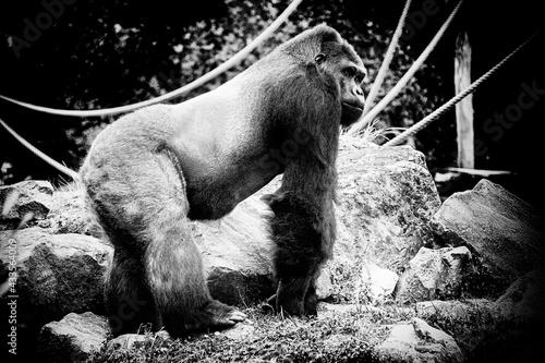 Leinwand Poster Gorille