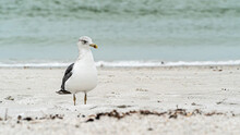 Laughing Gull Standing On Top Of A Sandy Beach Close Up Along Shore