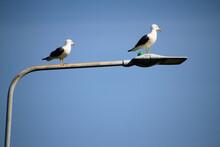 A Pair Of Herring Gulls On A Street Light