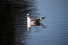 A Herring Gull On A Lake In Nantwich