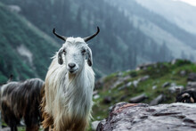 Goats Resting In The Mountains On The Hampta Pass Trek In Northern India