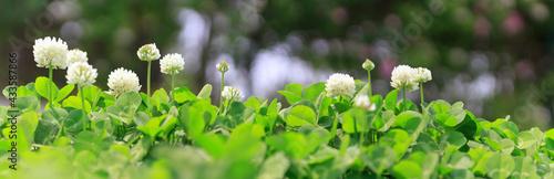 Murais de parede Panoramic view of white clover flowers