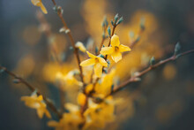 Bright Fragrant Yellow Forsythia Flowers Bloom On The Thin Branches Of The Bush In Spring. Nature.