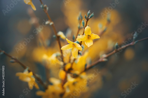 Fotografia Bright fragrant yellow forsythia flowers bloom on the thin branches of the bush in spring