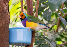 Gouldian Finch Eating From A Container While Sitting On The Edge Of The Bowl