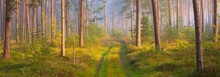 Pathway In A Majestic Evergreen Pine Forest In A Morning Fog. Ancient Tree Silhouettes Close-up. Natural Tunnel. Atmospheric Dreamlike Landscape. Sun Rays, Blue Light. Panoramic View