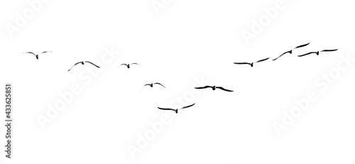 Fotografia A flock of seagulls in flight isolated on a white