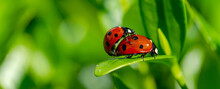 Panoramic Close-up Of Ladybugs Mating In Springtime On Green Leaf. Ladybug With Leaves Background.
