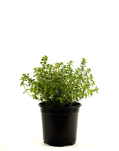Thymus Vulgaris In Pot With White Background