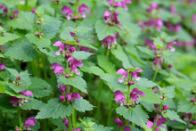 Deaf Nettle Blooming In A Forest, Lamium Purpureum. Spring Purple Flowers With Leaves