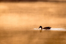 A Duck Swimming On A Golden Sunlit Pond