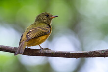 Mionectes Oleagineus / The Ochre-bellied Flycatcher, Bird Perched Quietly On A Branch, Wildlife From South America. Birdwatching In Colombia.