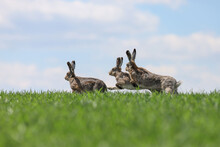 Fighting Hares In The Middle Of Green Field. Running Three Wild Rabbits In A Grass.