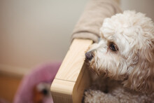 Small White Terrier Pet Dog At Home Looking Over Wooden Piece Of Furniture